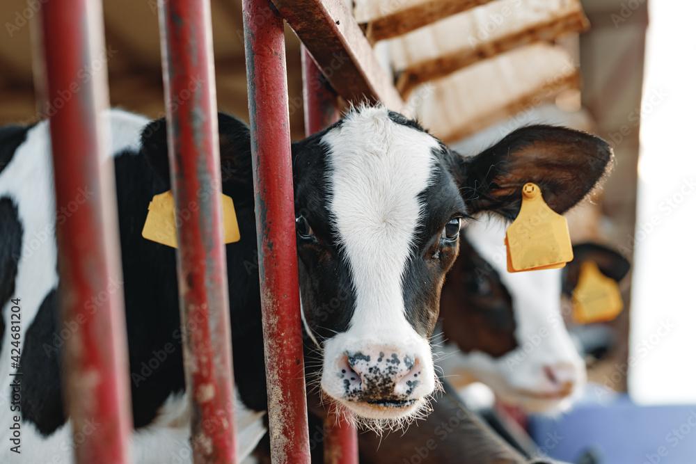 Fototapeta Young bull calf in a stall on a farm