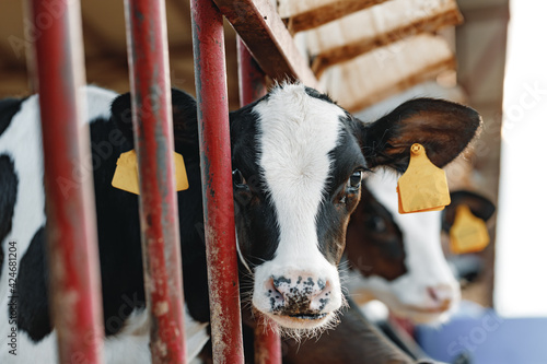 Young bull calf in a stall on a farm