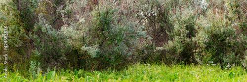 Fototapeta Loch silvery grove. Silverberry or Elaeagnus commutata bushes