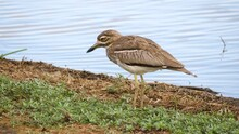 A Spotted Thick Knee Stands Near The Waters Edge And Calls Out, Side View