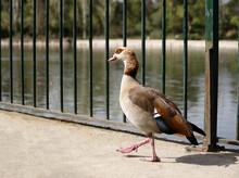 A Goose Walking Beside A River
