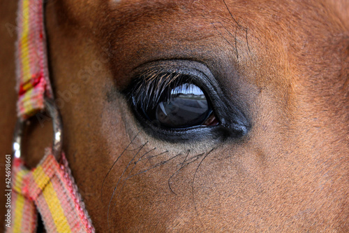 Fototapeta Eye close up of a brown sport horse with spanish flag snaffle bridle
