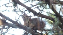 Squirrel Jumps On The Branches Of A Tree Scratching Its Hind Leg