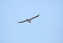 Outdoors Landscape With Seagull In The Wedding Coloring Flying Away From Left To Right In The Sky High In The Cloudless Sky In Sunny Day Close Up View