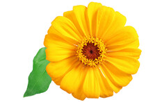 Yellow Zinnia With Leaf Isolated On White. Very Detailed