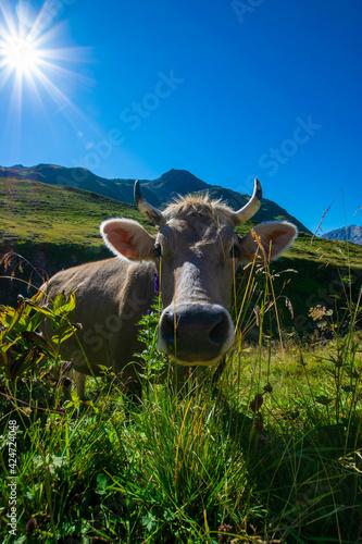 Fotografia, Obraz cow in the alps