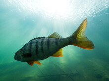Striped Perch Fish With Red Fins In Clear Water