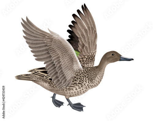 Canvas canard, pilet, anas aile, vol, mâle, migration,   , isolé, nature, voyage, bec,