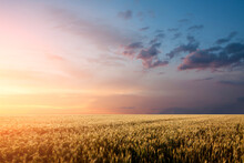 Wheat Field Sunset Background With Dramatic Sky