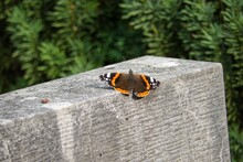 Red Admiral Butterfly (Vanessa Atalanta) Perched On Grey Stone In Zurich, Switzerland