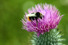 Bee On Purple Thistle
