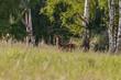 Młody jeleń Cervus elaphus elaphus obserwuje Dolina Baryczy Stawy Milickie
