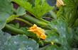 canvas print picture - Zucchini (Cucurbita pepo subsp. pepo convar. giromontiina)