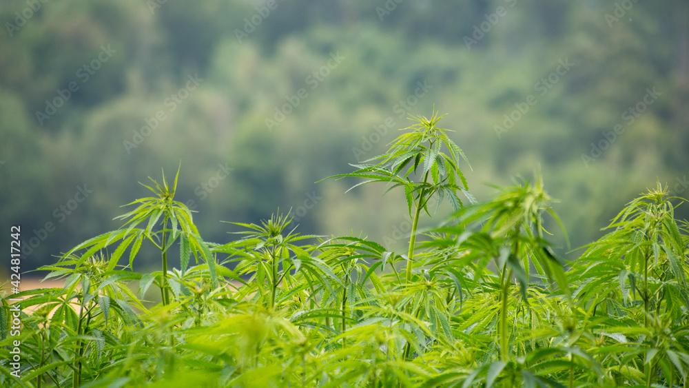 Fototapeta Zielone krzaki konopii na polu