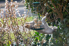 A Squirrel Hanging At A Funny Angle From A Bush Sealing Suet Fat Balls From A Bird Feeder. He Is Holding Some Of The Food In His Claw.