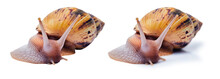 Two Variants Of A Live Giant African Land Snail Isolated On White Background