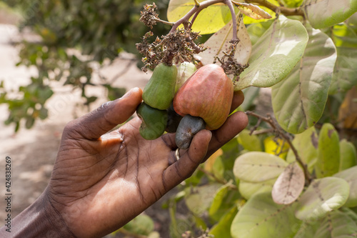 Manos cogiendo frutos de anacardos en la región de Makasutu, Gambia