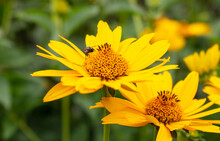 Fresh Bright Yellow Sunflower Flower (sunroot, Sunchoke, Earth Apple Or Jerusalem Artichoke Plant) And A Pollinating Bee Or Wasp Sitting On It. Sunny Day In The Green Spring Or Summer Garden.