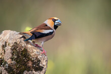 Hawfinch Perched On A Branch Blur Background