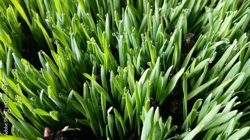 Canvas wheat grass with dew drops