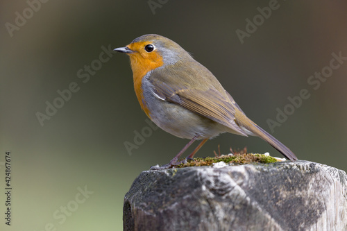 Canvas Print Wild red robin perched on a log, a closeup image