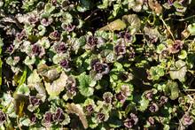 Red Dead Nettle (Lamium Purpureum)