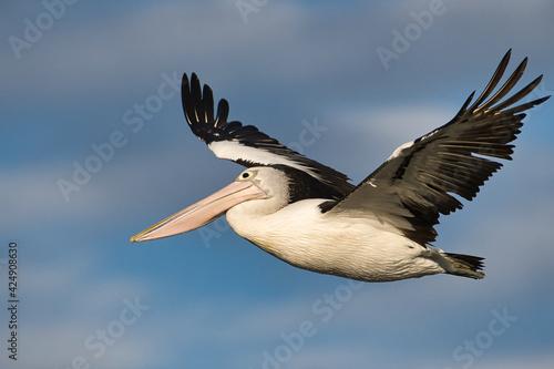 Papel de parede pelican in flight