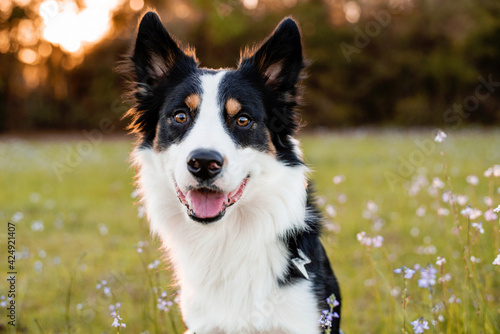 Photo Border collie enjoying a field with purple flowers, portrait of a trained dog