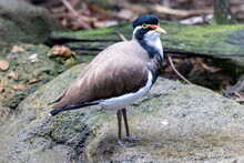 Banded Lapwing Resting On Rock