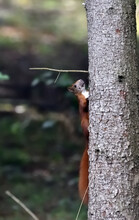 A Red Squirrel Climbs A Tree Trunk