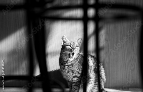 Fotografie, Obraz Artistic black and white photo of a mad tabby cat going crazy, wild furry young