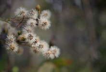 A Branch Of Dry, Fluffy Faded Flowers On A Brown Blurred Background. Delicate Autumn Background. Hieracium Umbellatum (Hieracium Canadense, Canadian Hawkweed). Close Up