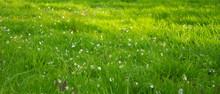 Płatki Jabłoni Na Tle Jasno Zielonej Trawy