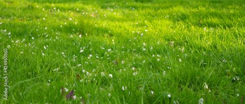 Fototapeta Płatki jabłoni na tle jasno zielonej trawy obraz