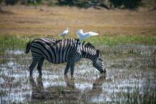 Zebra And Cattle Egret In Okavango Delta Of Botswana, Southern Africa.