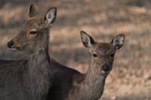 The Fallow Deer, Dama Dama, Is A Ruminant Mammal, Female
