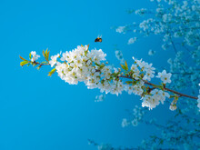 Blossoming Flowers In Spring, Cherry Blossoms With Flying Bumblebee To Pollinate The Newly Blooming White Flowers