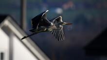 Heron Low-altitude Flight In The Evening