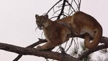 Mountain Lion Aka Cougar Tree Branch And Gray Sky In South Dakota