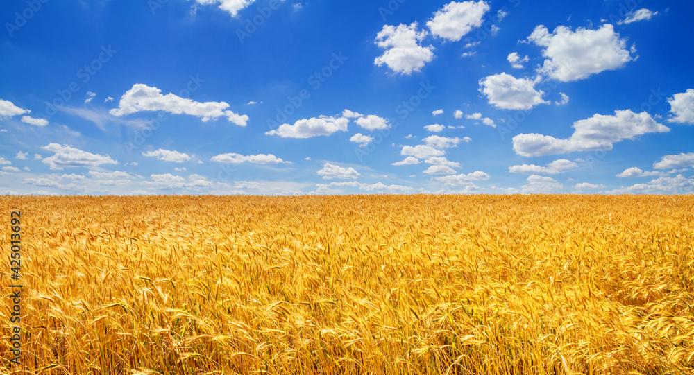 Fototapeta Wheat field in the rays of the summer sun, closeup, bountiful harvest concept. Rural scenery