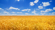Wheat Field In The Rays Of The Summer Sun, Closeup, Bountiful Harvest Concept. Rural Scenery