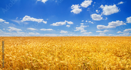 Obraz Wheat field in the rays of the summer sun, closeup, bountiful harvest concept. Rural scenery - fototapety do salonu