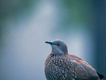 Close Up Of A Spotted Dove