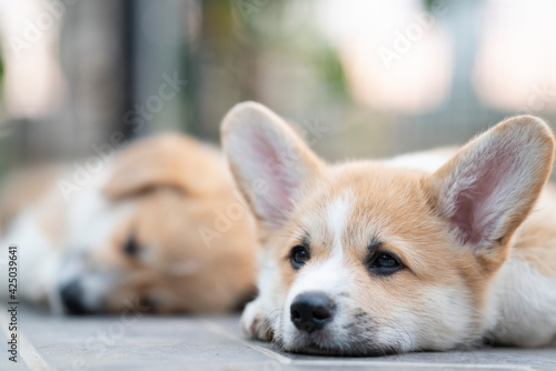 Obraz cute corgi dog puppies lying, relaxing and sleeping in summer sunny day - fototapety do salonu
