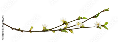 Spring cherry twigs with small flowers and green leaves Fototapet