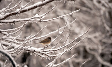 This Little Dark Eyed Junco Seems To Be Watching For A Hand Out As It Stands On The Snow Covered Tree Branches On A Cold Winter Day As The Snow Continues To Fall. Bokeh Effect.