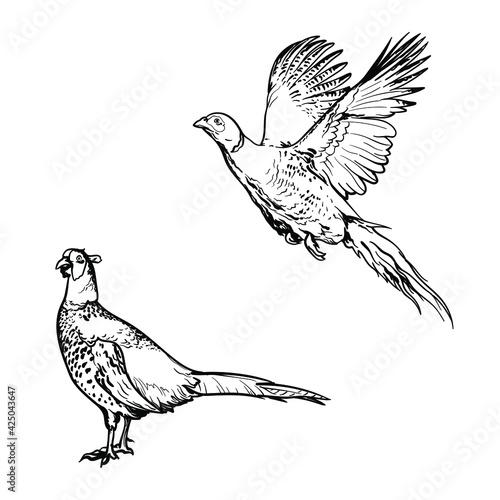 Fototapeta Hand drawn of an pheasant, sketch