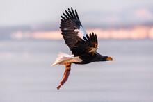 Steller's Sea Eagle. Steller's Sea Eagle In Flight. Wild Sea Eagle From Winter Japan, Hokkaido.