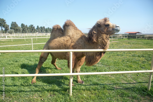 Foto Camel owners leave their animals roam more less free