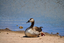 A Single Swan Goose Basking In The Sun On A Lake Shore
